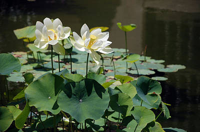 Photograph - White Waterlilies by Mark Wiley