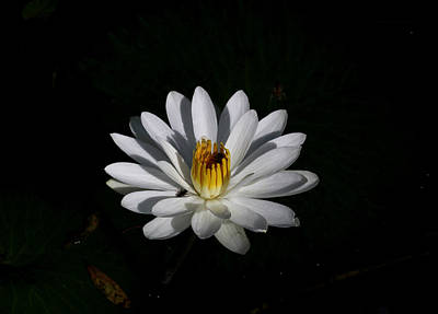 Photograph - White Waterlily by April Wietrecki Green