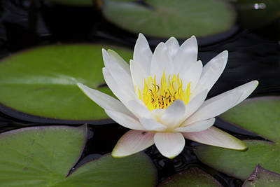 White Waterlily Original