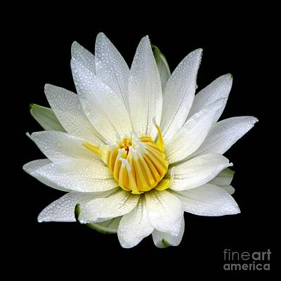 White Waterlily With Dewdrops Art Print by Rose Santuci-Sofranko