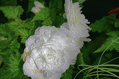 Photograph - White Wet Begonia Flower by Nareeta Martin