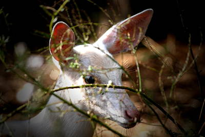 Whitetail Fawn Photograph - White Whiskers by Emily Stauring