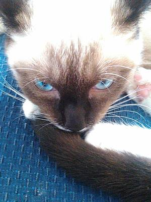 Becky Photograph - White Whiskers Siamese Cat by Becky Burt