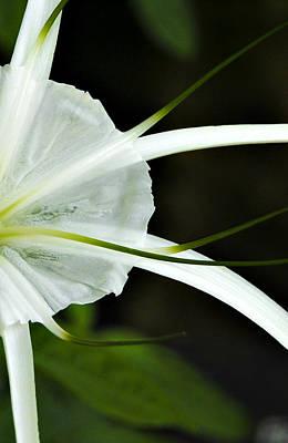 White Whispy Flower Art Print by Tessa Hunt-Woodland