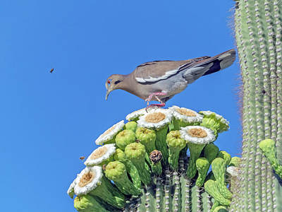 Photograph - White-wiged Dove On Saguaro Blooms 9887-050918-1cr by Tam Ryan