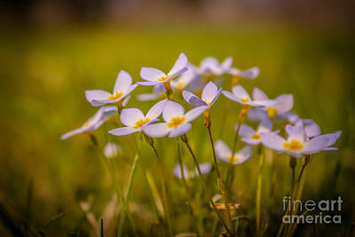 White Wild Flowers - Close Up Art Print