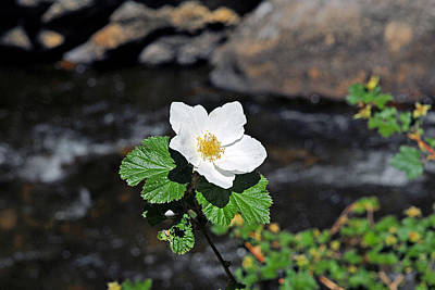 Photograph - White Wild Rose In Big Thompson Canyon by Robert Meyers-Lussier