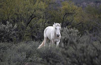 Photograph - White Wild Stallion In Salt River Arizona by Dave Dilli