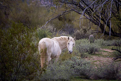 Photograph - White Wild Stallion Watches His Back by Dave Dilli