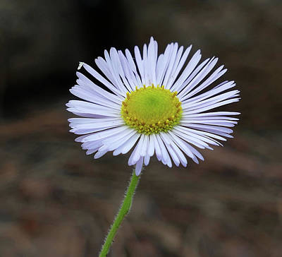 Photograph - White Wildflower by Laurel Powell