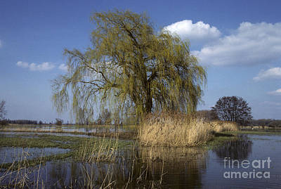 White Willow Art Print