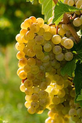 Grape Vine Photograph - White Wine Grapes by Teri Virbickis