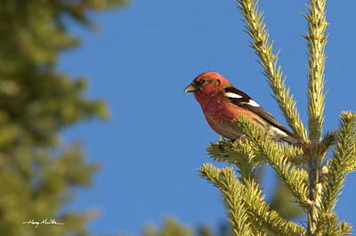 Pyrography - White-winged Crossbill by Harry Moulton
