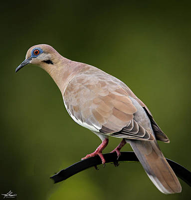 Photograph - White Winged Dove 02 by Philip Rispin
