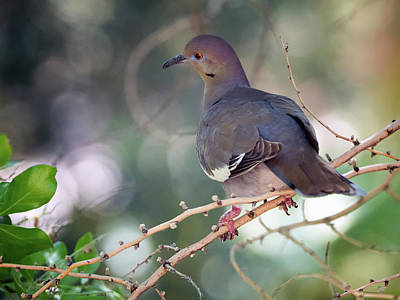 Photograph - White-winged Dove 0210-050918-1cr by Tam Ryan