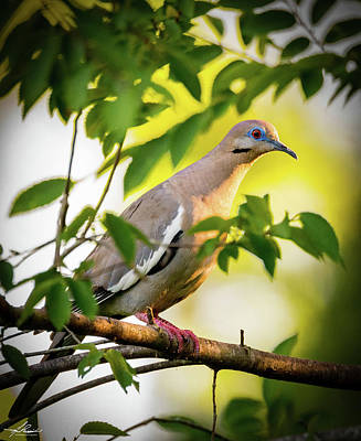 Photograph - White Winged Dove 05 by Phil Rispin