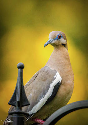 Photograph - White Winged Dove 06 by Phil Rispin