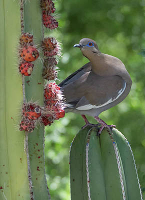 Photograph - White-winged Dove 0649-051318-1cr by Tam Ryan