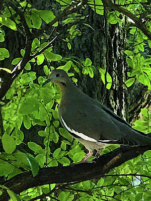 Mixed Media - White-winged Dove In Tree by Robert J Sadler