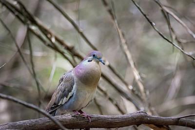Photograph - White-winged Dove - Lady Bird Park by Debra Martz