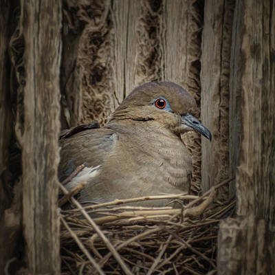 Photograph - White-winged Dove - Nesting by Nikolyn McDonald