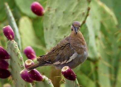 Photograph - White Winged Dove On Prickly Pear  by Saija Lehtonen