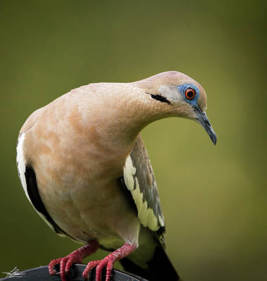 Photograph - White Winged Dove by Philip Rispin