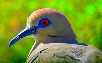 Photograph - White-winged Dove Portrait by Judy Kennedy