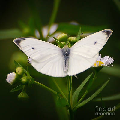 White Wings Of Wonder Art Print