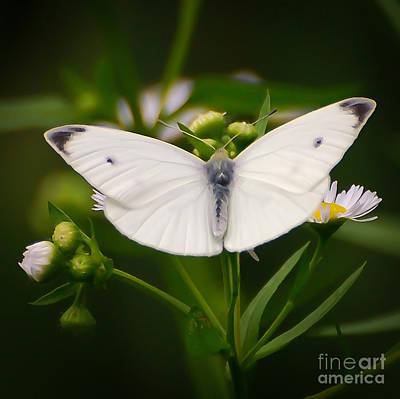 White Wings Of Wonder Art Print by Kerri Farley