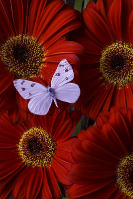 White Wings On Red Daisy Print by Garry Gay