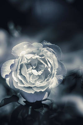 White Winter Rose Wilting In A Blue Gloomy Field Print by Jorgo Photography - Wall Art Gallery
