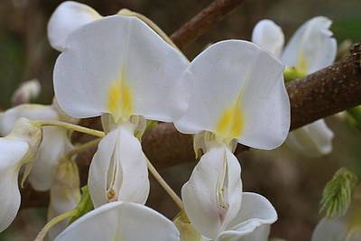 Photograph - White Wisteria Macro by Kathryn Meyer