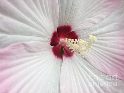 Photograph - White With Pink Hibiscus by Jeannie Rhode
