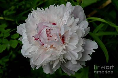 Photograph - White With Pink Peony by Jeannie Rhode