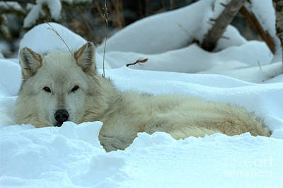 Photograph - Gray Wolf Winter Nap by Adam Jewell