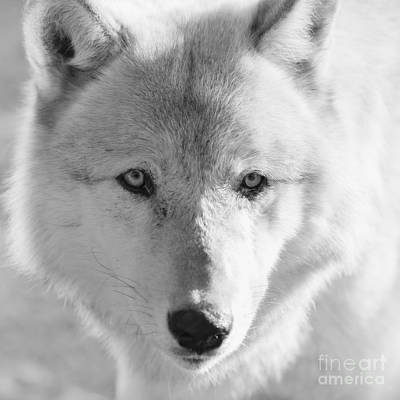 Photograph - White Wolf by Ana V Ramirez
