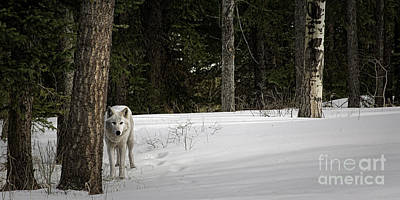 Photograph - White Wolf by Brad Allen Fine Art