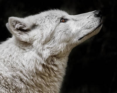 Photograph - White Wolf by Wes and Dotty Weber