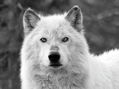 Photograph - White Wolf Encounter by Steve McKinzie