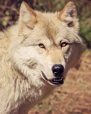 Photograph - White Wolf by Erica Kinsella