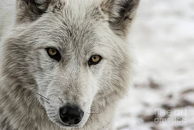 Photograph - White Wolf II by Brad Allen Fine Art