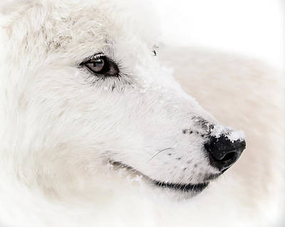 Photograph - White Wolf Portrait by Athena Mckinzie