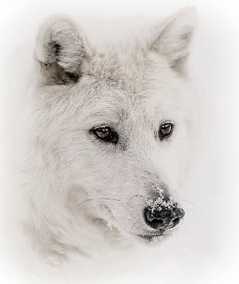 Typographic World Rights Managed Images - White Wolf Portrait V Royalty-Free Image by Athena Mckinzie