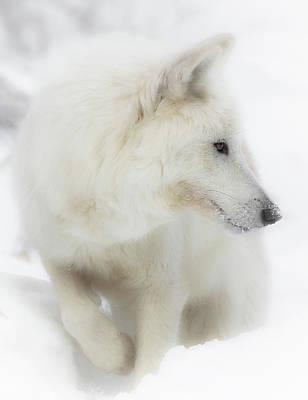 Photograph - White Wolf Snow Bound by Athena Mckinzie
