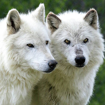 Photograph - White Wolves by Steve McKinzie