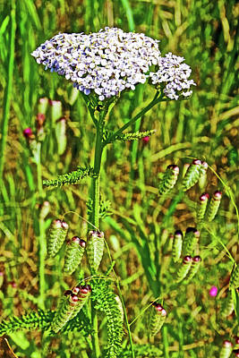 Photograph - White Yarrow And Sea Oats On Muir Beach In Muir Woods National Monument, California by Ruth Hager