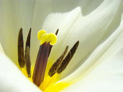 Tulip Art Photograph - White Yellow Tulip Flower Fine Art Prints by Baslee Troutman