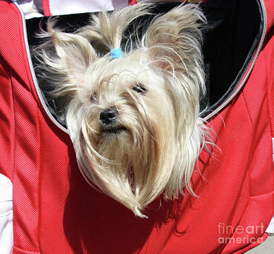 Photograph - White Yorkshire Terrier In A Bag by Irina Afonskaya