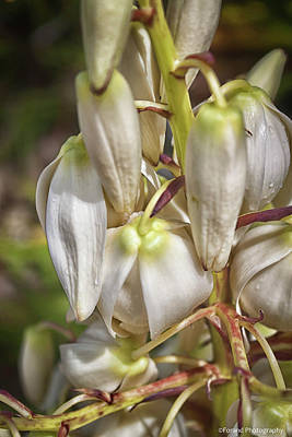 Photograph - White Yucca Flowers by Debra Forand
